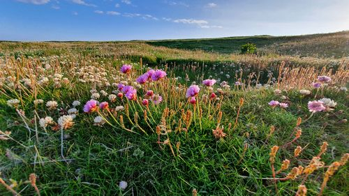 Sea pinks and clovers on the headland at Noss Head